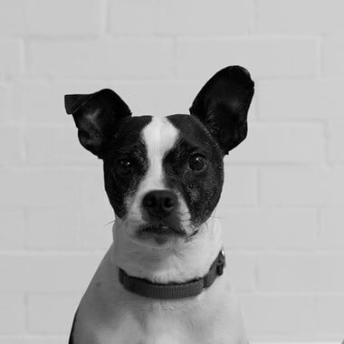Kirby - Office Dog